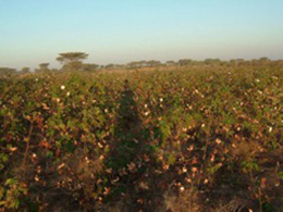 収穫を待つ綿畑
