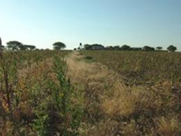 綿畑の中に瓜が出来ています