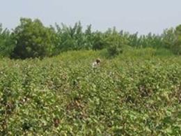試験農場で綿花の栽培状況をチェックするスタッフ
