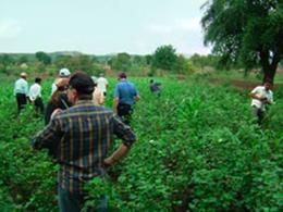 綿の畑は1エーカー。<br /> 雨季が遅れたので生育も1ヶ月遅れ