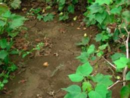 conventionalの畑。地面が割れている
