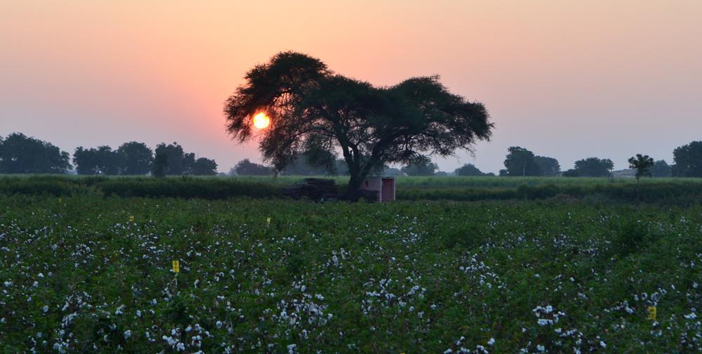 banner_cotton field